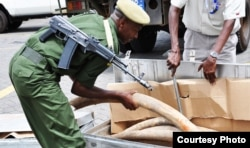 Officer with Interpol's Operation Worthy inspects seized ivory tusks (Kenya Wildlife Service)