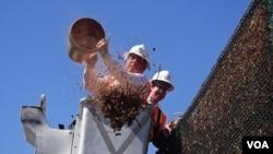 長灘市長佛斯特和市議員約翰遜在揭幕儀式傾倒木屑(美國之音國符拍攝)
