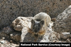 A small pika with grass in its mouth in the high Sierras of Sequoia and Kings Canyon National