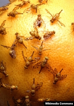 Fruit flies have a similar mechanism to humans that responds to light.