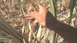 Drought Taking Toll on Midwest Corn Producers