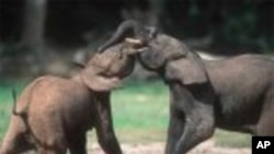 Quand deux éléphants se battent, dit un adage africain, c'est l'herbe qui en pâtit