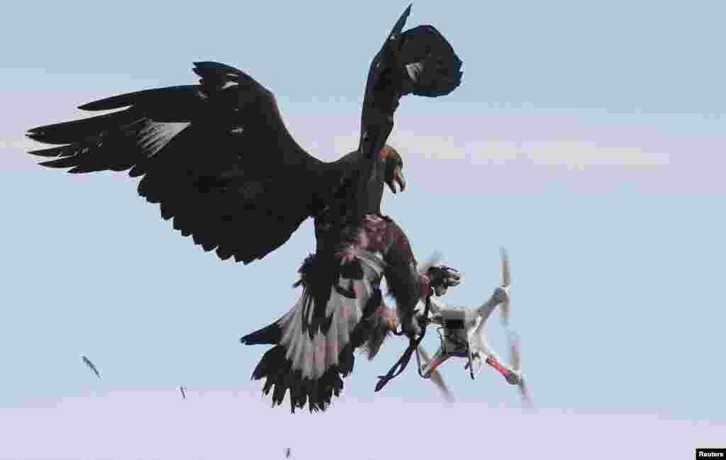 در یک مانور نظامی در پایگاه نیروهای هوایی فرانسه، یک عقاب طلایی، به یک پهپاد حملهمی کند.