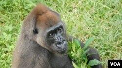 """Gorila jenis Cross River ini diklasifikasikan sebagai """"sangat terancam"""" oleh International Union for the Conservation of Nature, perhimpunan internasional untuk konservasi alam atau IUCN."""