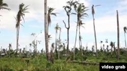 Tháng 12 năm ngoái, những trận cuồng phong của siêu bão Haiyan đã tàn phá các vườn dừa của Philippines