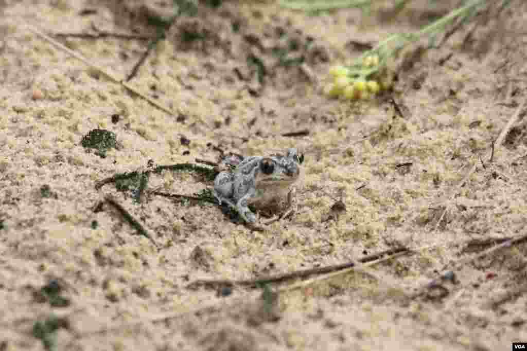В песках водятся змеи, зайцы и лягушки.