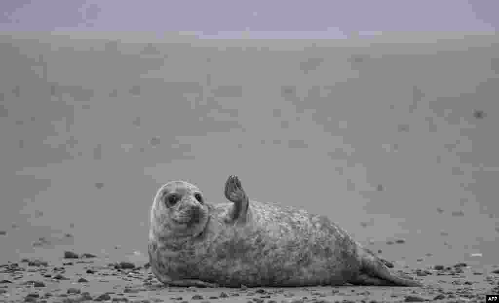 A young grey seal makes a movement as it lies on a beach on the North Sea island of Helgoland, Germany.