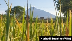 Padi siap panen di Sleman, DI Yogyakarta. (Foto: VOA/Nurhadi Sucahyo)