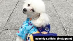 Mei, anjing pudel milik Yuka Iida, bergaya dengan kimono buatan tuannya di depan toko Adachiya di Tokyo, Jepang. (Foto: IG/adachiya.official)