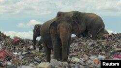 سری لنکا میں کچرا کنڈی پر جمع ہونے والے ہاتھی اکثر قریبی بستیوں پر بھی حملہ کر دیتے ہیں۔