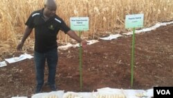 New experimental hybrid maize on display at a maize field in Harare, Zimbabwe, Oct. 24, 2016. Scientists in Zimbabwe say they have developed new heat- and drought-tolerant varieties of maize that may be ready for sale ahead of the next planting season. (S. Mhufo/VOA)