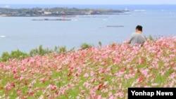 30일 제주시 함덕 서우봉을 찾은 관광객이 코스모스 밭에서 가을 정취를 만끽하고 있다.