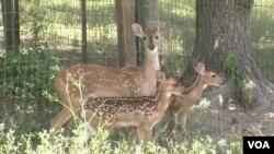 休斯頓西北的一個林間牧場。因為母鹿被殺,幾隻小鹿成了孤兒。