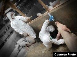 Petugas dari Balai Veteriner Medan sedang mengambil sampel darah ternak babi untuk pemeriksaan penyakit African Swine Fever. (Courtesy: Balai Veteriner Medan).