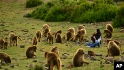 A tourist watches Gelada baboons in the Simien Mountains of Ethiopia.