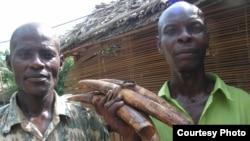 Défenses d'éléphanteaux braconnés et saisis dans le parc national de la Salonga en République démocratique du Congo. (Pele Nkumu / Wildlife Conservation Society)