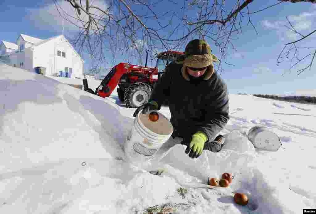 کینیڈا کے برف پوش علاقے میں 430 ایکڑ پر محیط سیبوں کے باغ میں پھل مکمل طور پر تیار ہو چکے ہے۔