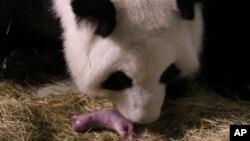 Lun Lun, la madre Panda, fue inseminada de manera artificial en marzo. El seguimiento ininterrumpido de su proceso de parto inició a finales del mes pasado.