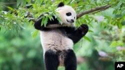 FILE - panda cub Bao Bao hangs from a tree in her habitat at the National Zoo in Washington.