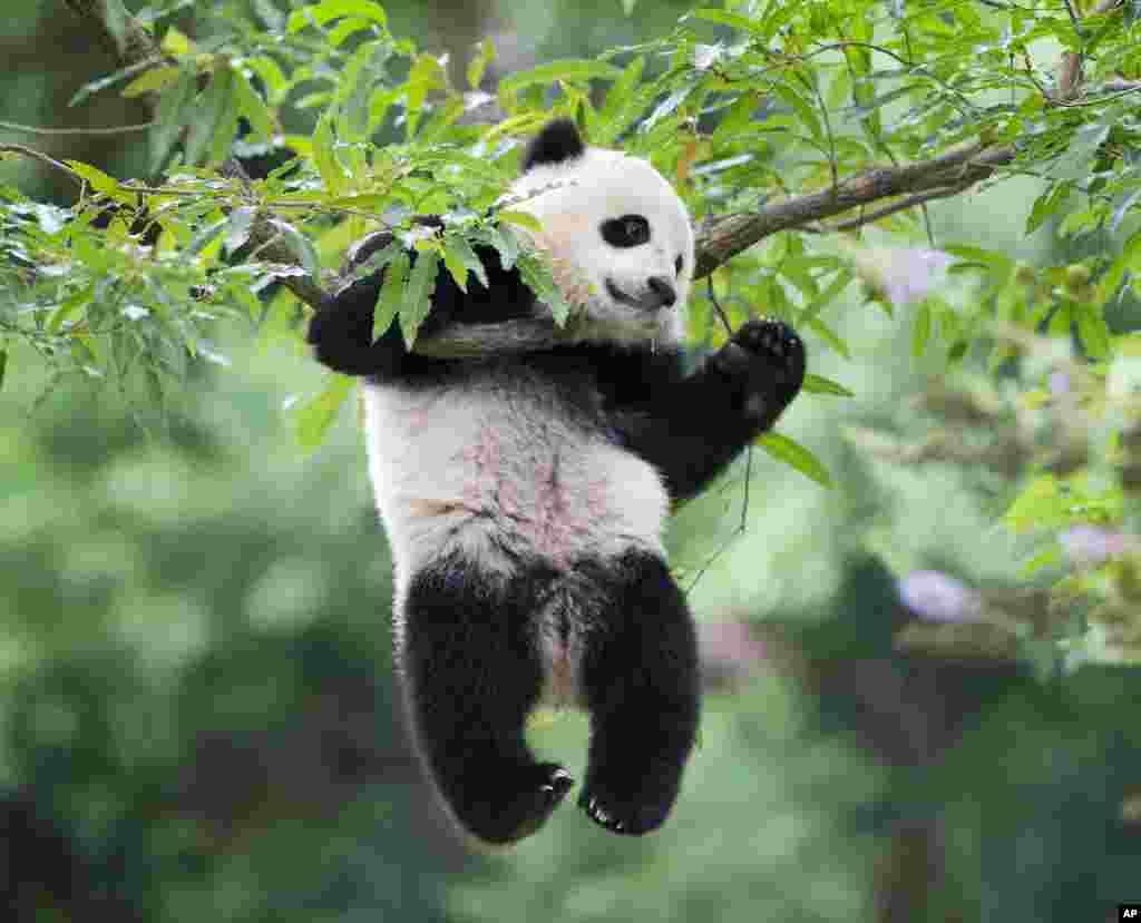 """2014年8月23日,寶寶掛在樹上。2017年2月21日下午,三歲熊貓""""寶寶""""乘聯邦快遞公司的貨機,從華盛頓飛往成都,回到父母""""添添""""和""""美香""""的老家四川。從""""寶寶""""出生就照顧它的飼養員迪里和獸醫霍普一路和""""寶寶""""做伴。2013年8月23日""""寶寶""""出生於華盛頓國家動物園。按照美中兩國的約定,""""寶寶""""需要在4歲前返回中國。"""