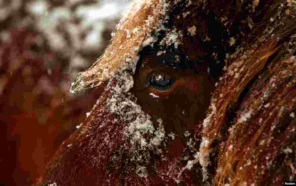 Seekor kuda tampak diselimuti salju di kota Kaufbeuren, Jerman.