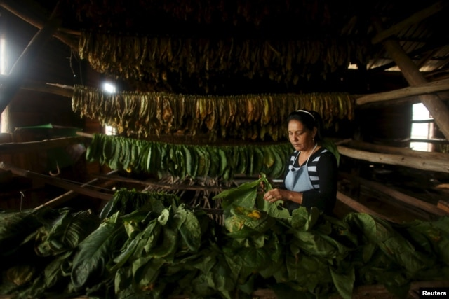 Farmer Maria Rivera, 47, prepares tobacco leaves for drying at a curing barn in Cuba's western province of Pinar del Rio, Jan. 26, 2016.