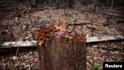 A hacked stump stands in the midst of a logged area in eastern Sierra Leone Apr. 22, 2012.