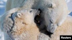 El único estado en EE.UU. con osos polares es Alaska.