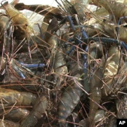 Some of the prawns harvested by the Corbin family, tobacco farmers who have gotten into aquaculture.