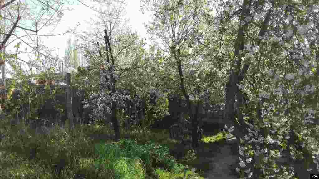 شکوفههای درختان گیلاس- خوی عکس: حسن باقرلو (ارسالی شما)
