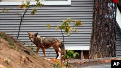 FILE - A coyote wanders through a neighborhood in Cedar Glen, Calif., Nov. 2, 2003, in the San Bernardino Mountains. Scientists have long known that human activity disrupts nature. And the latest research released on Thursday found fear of humans has caused many species to increase their nighttime activity by 20 percent.