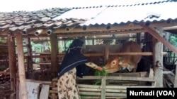 Santri putri Pondok Pesantren MBS menjalani hidup sebagai anak peternak sapi (Foto: VOA/Nurhadi)