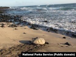 A hawksbill turtle at Hawaii Volcanoes National Park