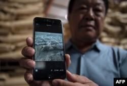 资料照:中国河北养猪农民孙大午用手机显示他饲养的猪因感染猪瘟死去的图片。 (2019年9月24日)