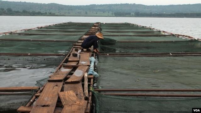 Demonstration fish farming cages on the Nile River in Jinja, Uganda, Sept 24, 2013. (Hilary Heuler/VOA)