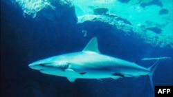 Büyük Balıkların Nesli Hızla Tükeniyor