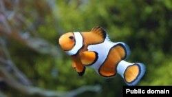 دلقکماهی یکی از ماهی هایی است که اگر لازم باشد تغییر جنسیت می دهد