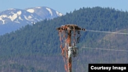 Ospreys Land in Bind with Baling Twine, Fishing Line