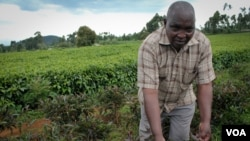 Nelson Kibara grows purple tea bushes alongside green tea on his farm near Kerugoya, Kenya, Oct. 28, 2014. (Hilary Heuler / VOA)