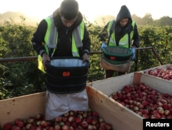 FILE - Migrant workers pick apples at Stocks Farm in Suckley, Britain, Oct. 10, 2016.