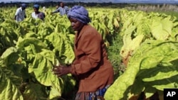 FILE: Farm workers harvest tobacco leaves.