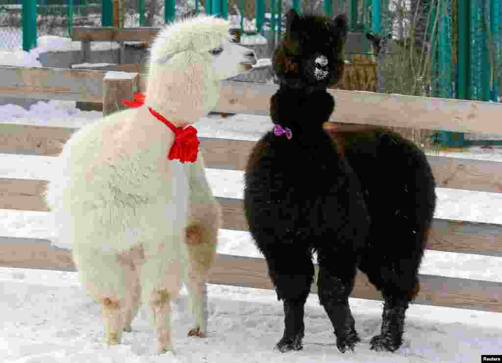 Alpacas, male Romeo (L) and female Juliette, decorated for Valentine's Day walk inside their open air enclosure at the Roev Ruchey Zoo in Krasnoyarsk, Russia.