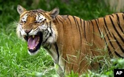 The oil spill threatens the Bengal tiger's mangrove forest habitat in Bangladesh.