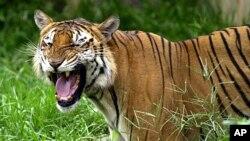 A Royal Bengal tiger roars at the Dhaka zoo at Mirpur district in Dhaka, Bangladesh (2003 file photo)