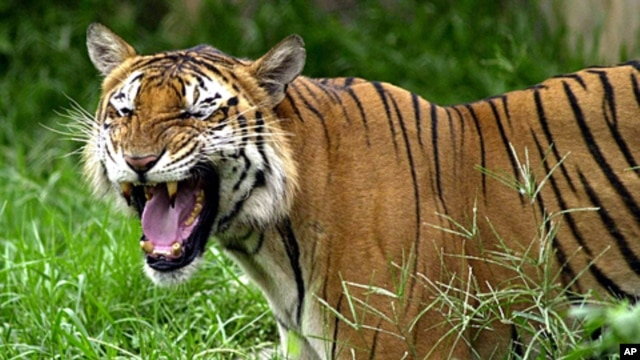 A Royal Bengal tiger roars at the Dhaka zoo at Mirpur district in Dhaka, Bangladesh (2003 file photo)