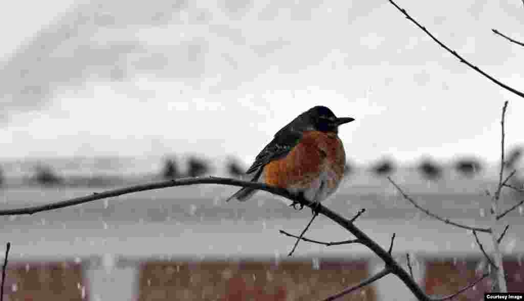 An American Robin, known for its warm orange breast and cheery singing, sits in a tree as snow falls in Fairfax, Virginia. (Diaa Bekheet/VOA)