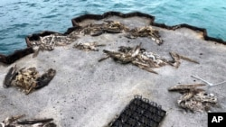 In this Oct. 22, 2019, photo, dead seabirds lie on a pier with plastic debris on Midway Atoll in the Northwestern Hawaiian Islands.