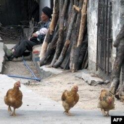彝海乡的村民和鸡
