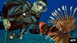 Vì không có những kẻ thù thiên nhiên ở đó, cá nhím biển đã sinh sôi nảy nở mau chóng, và làm giảm bớt số lượng cá bản địa tới 80 phần trăm