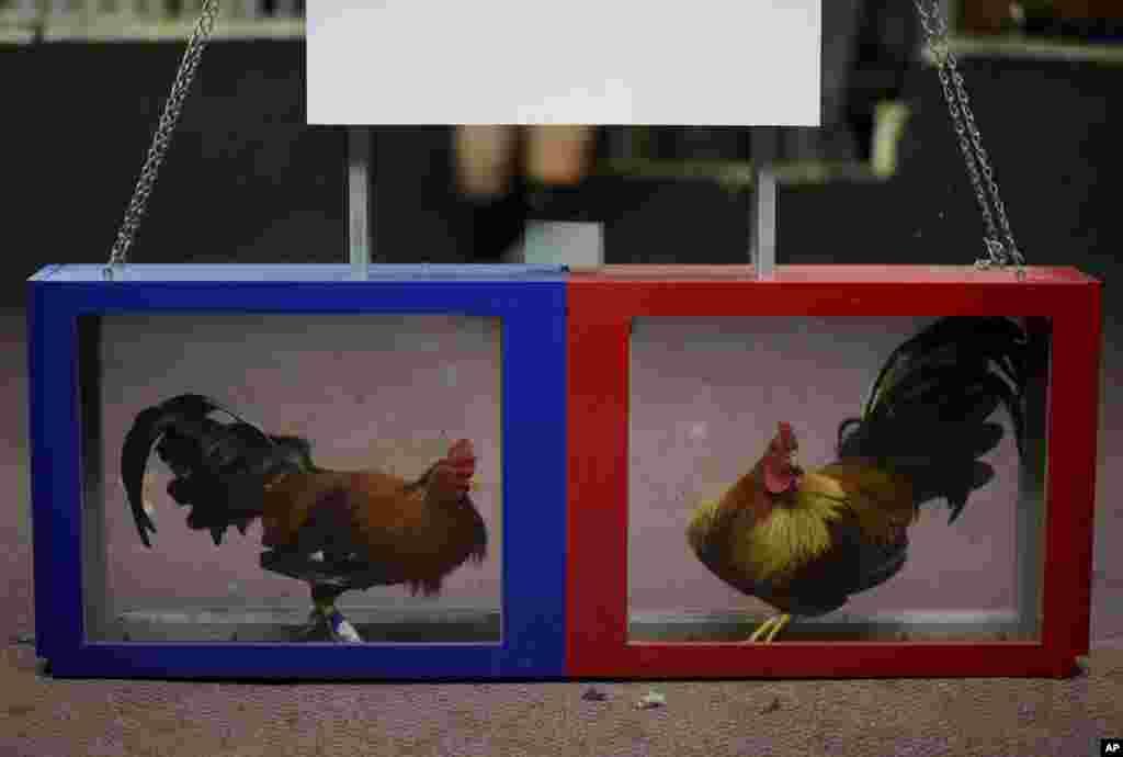 خروس ها در باشگاه جنگ پرندگان در کامپانیلاس در پورتوریکو آماده نبرد میشوند.